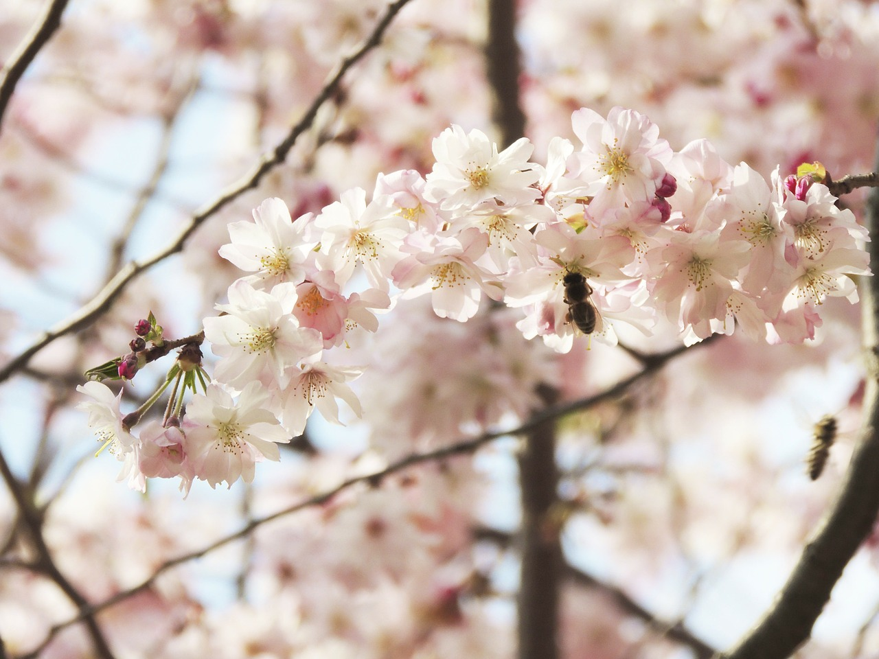 blossom bloom flower free photo
