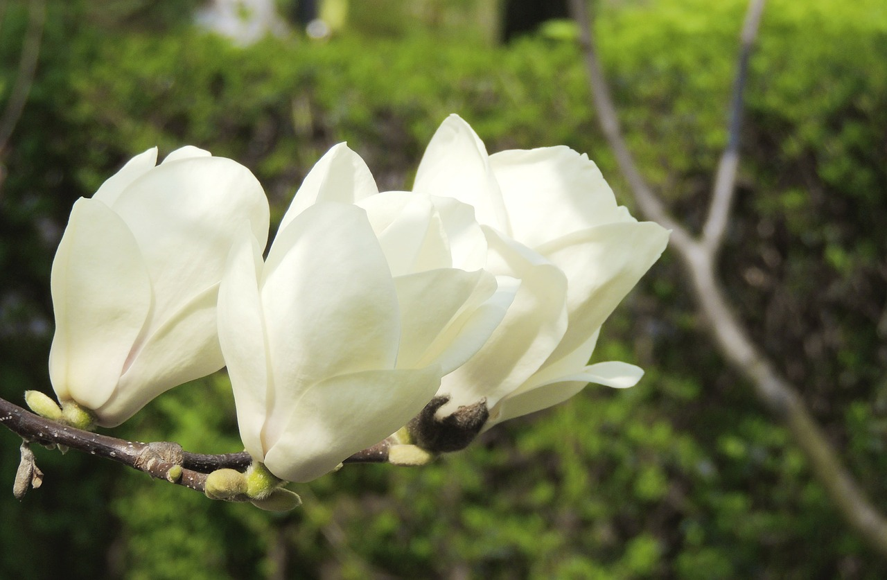 flower white blossom free photo