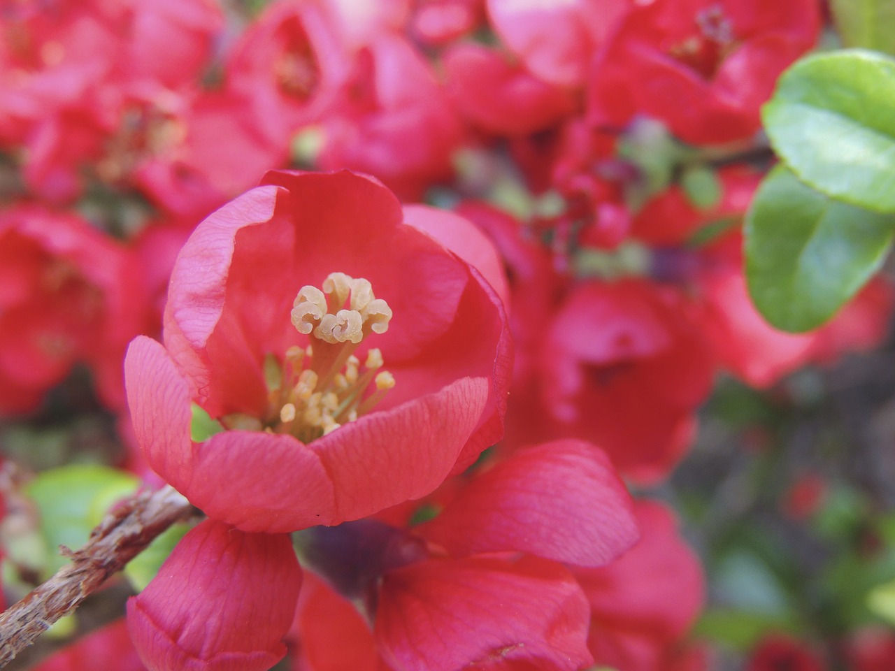 blossom bloom red free photo