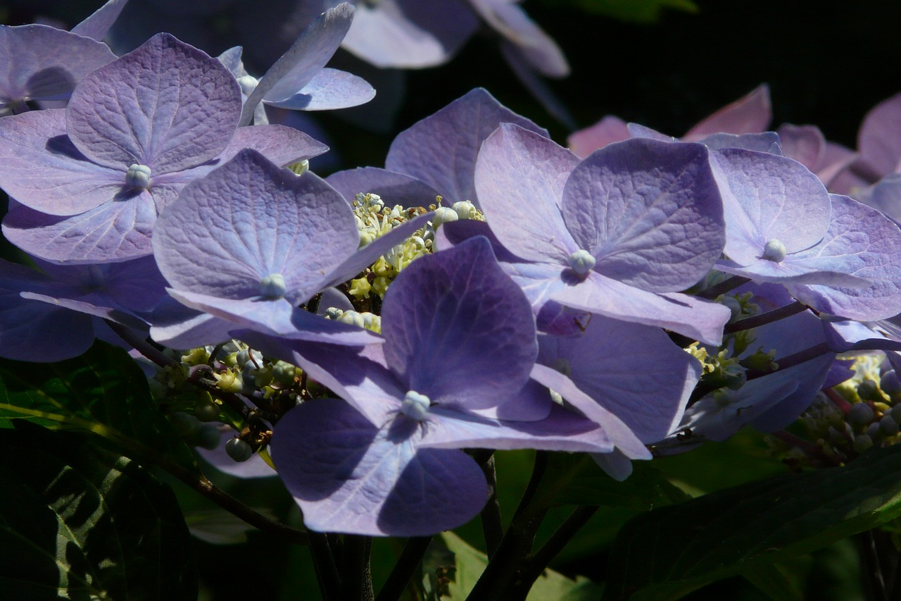 flower blue hydrangea free photo