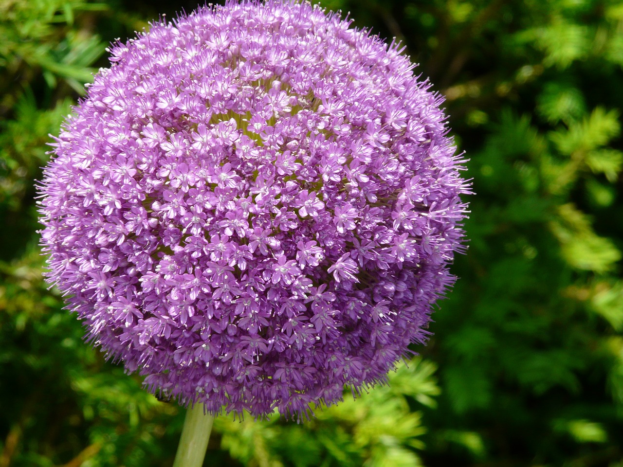 flower purple allium free photo
