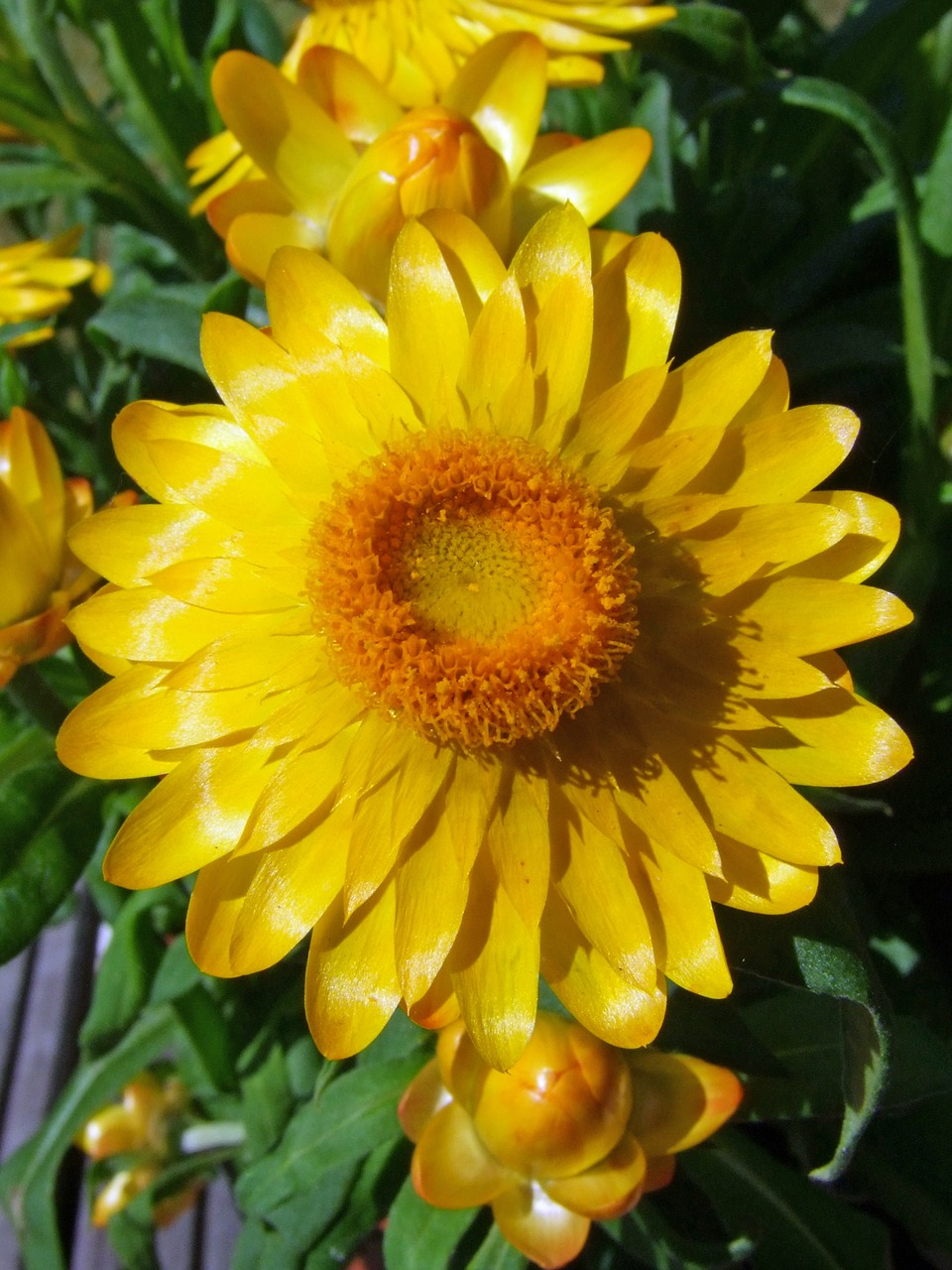 flower yellow italicum free photo