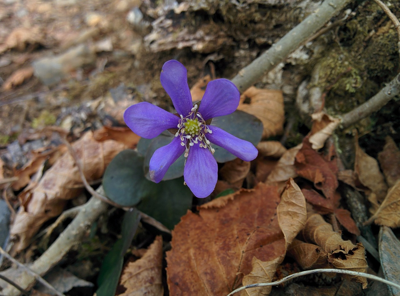 Flowerpurple Flowerflowerspetalspurple Flowers Free Photo From