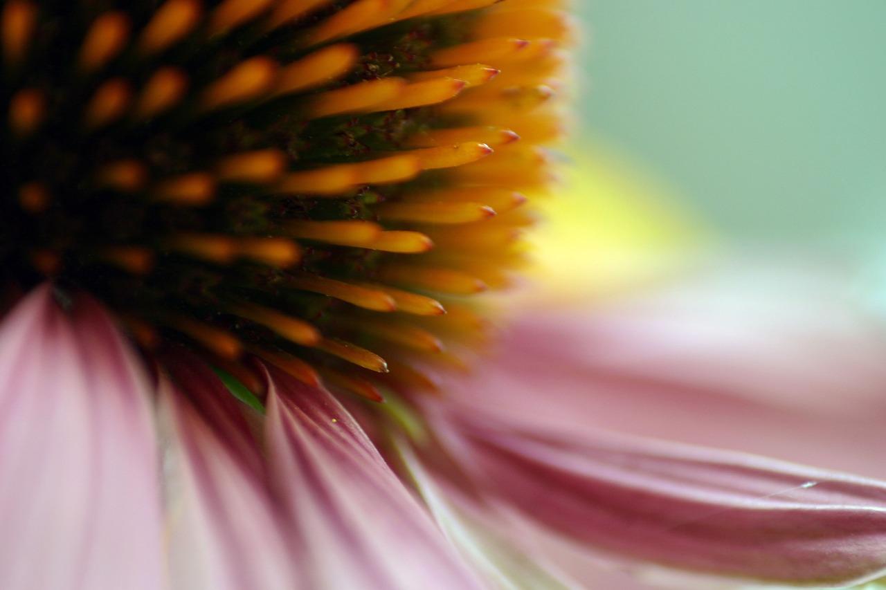 Free photo blossom bloom echinacea garden flower coneflower