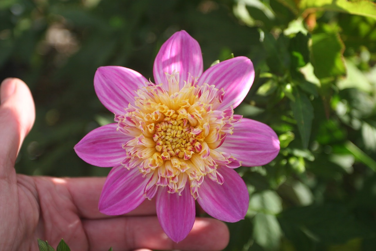 Dahliavariety Alphen Perlflowergardeningpink Petals Free Photo