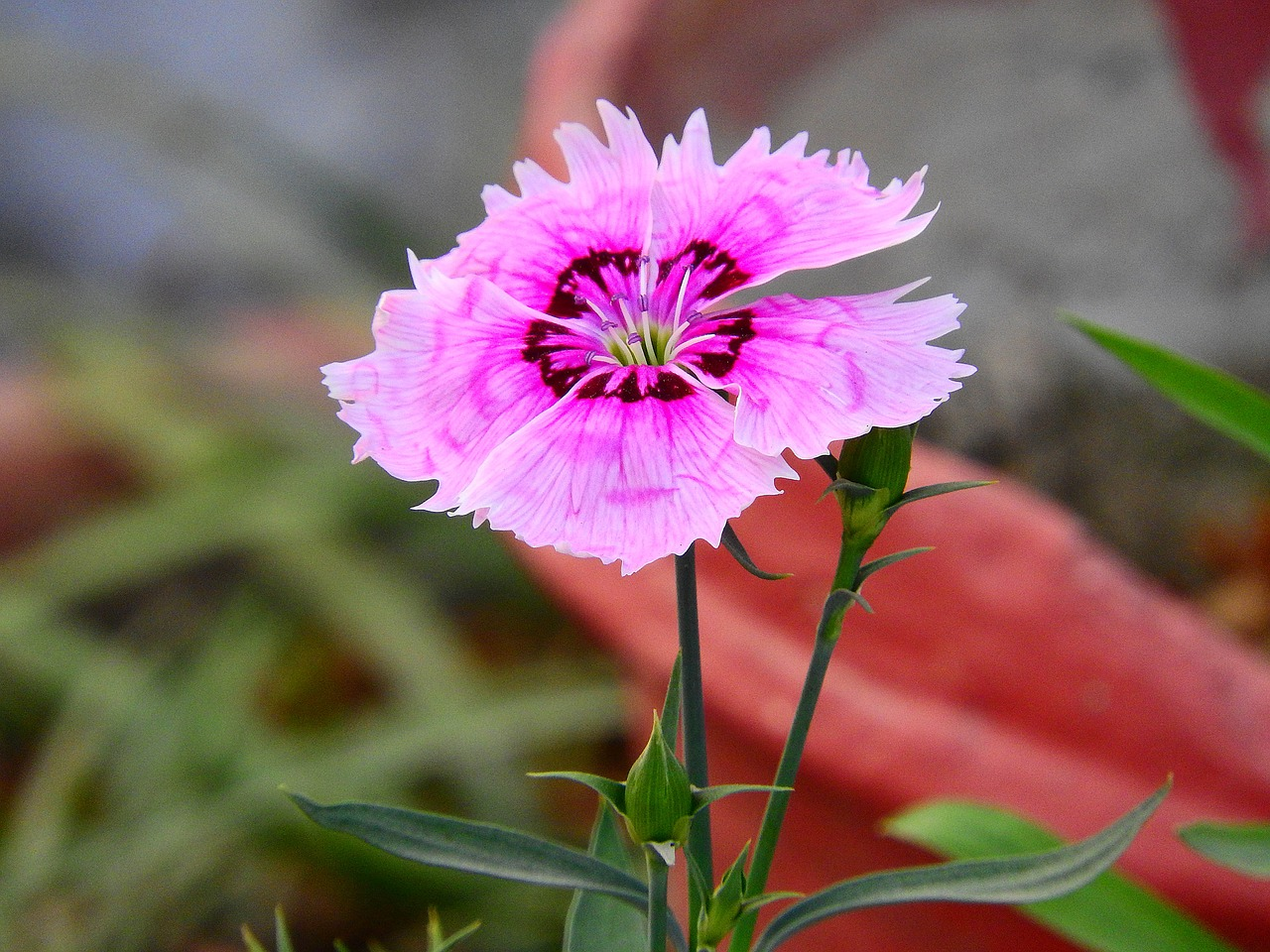 dianthus,flower,garden,colorful,bloom,lawn,season,free pictures, free photos, free images, royalty free, free illustrations, public domain