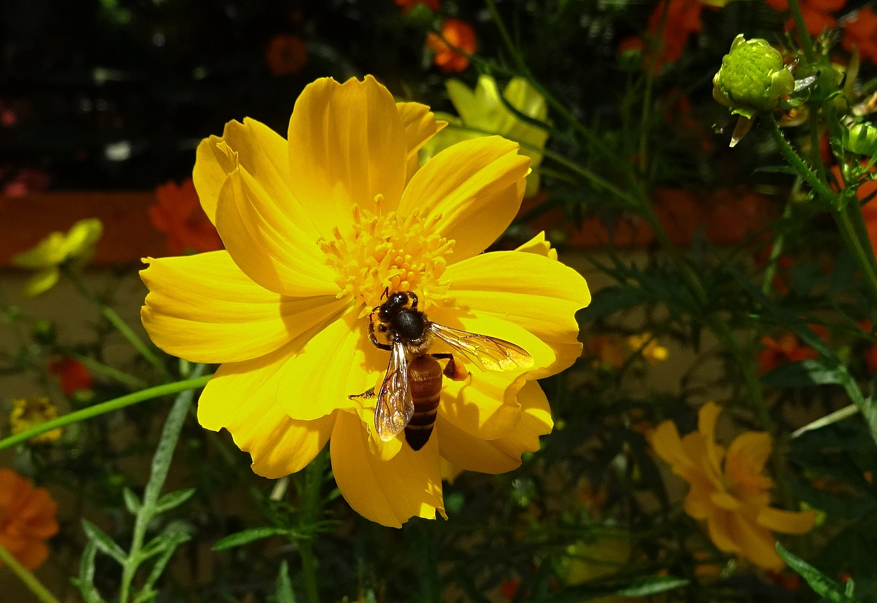 flower cosmos yellow free photo