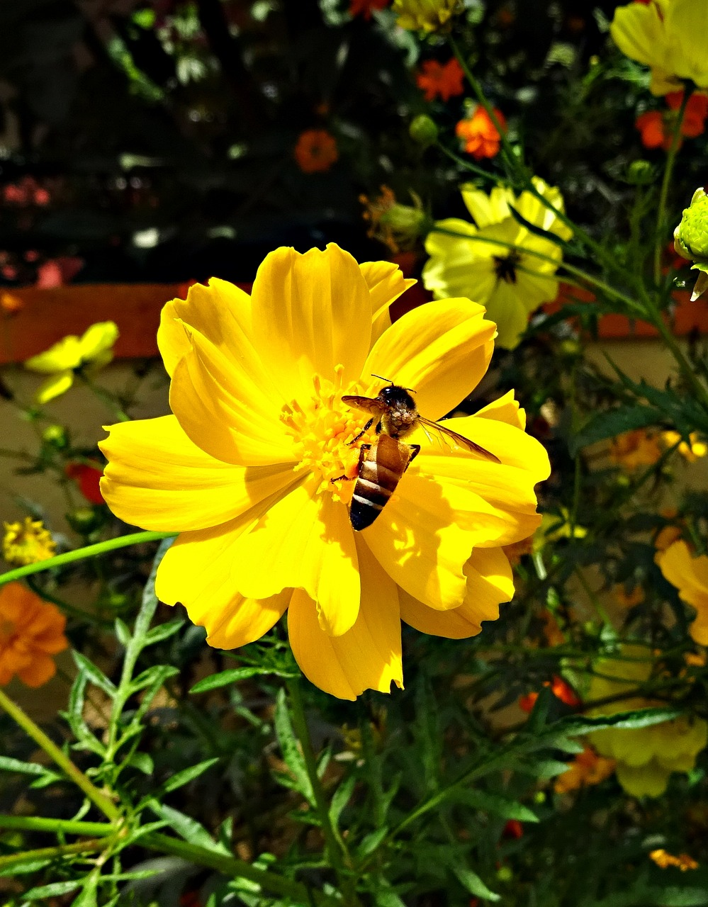 flower cosmos cosmos sulphureus free photo