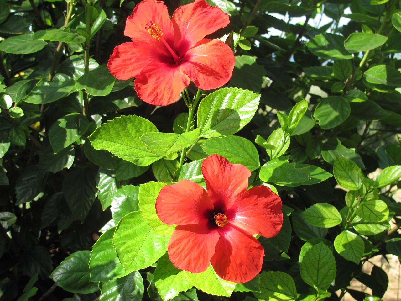 Hibiscusflowertreeflowering treered free photo from needpix hibiscus flower tree izmirmasajfo