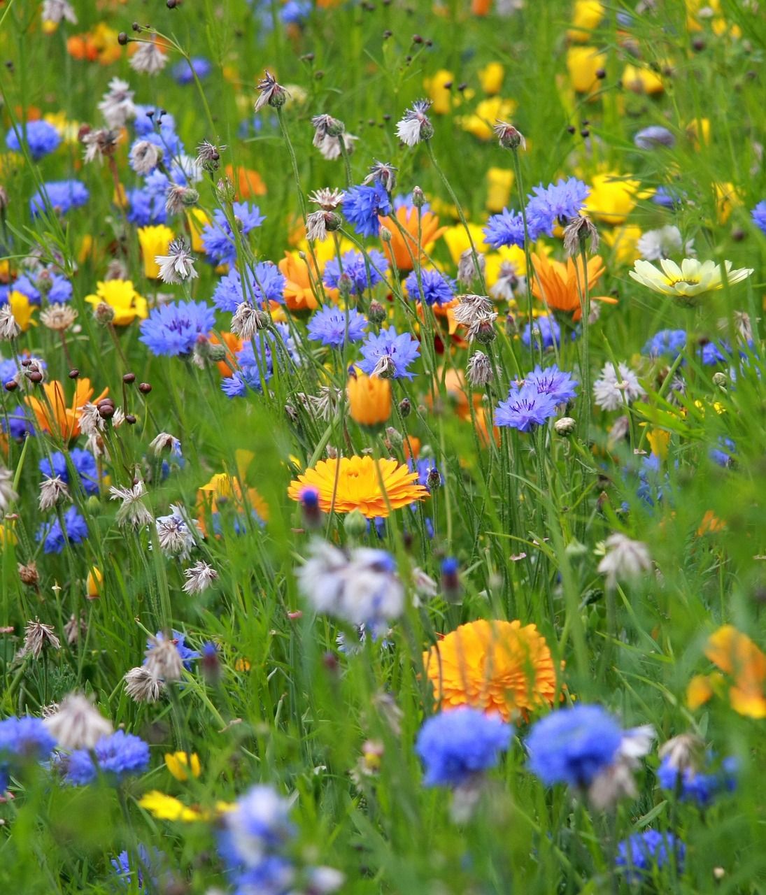 flower meadow yellow free photo
