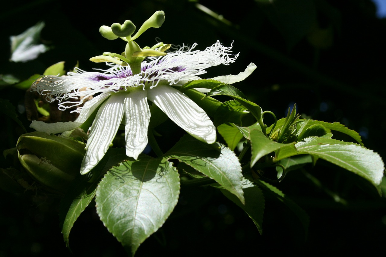 flower bloom granadilla free photo