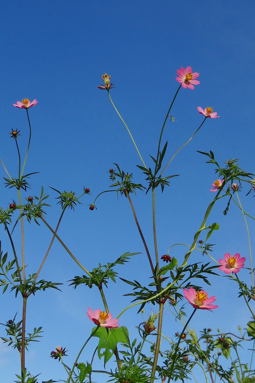 flower cosmos wild pink free photo