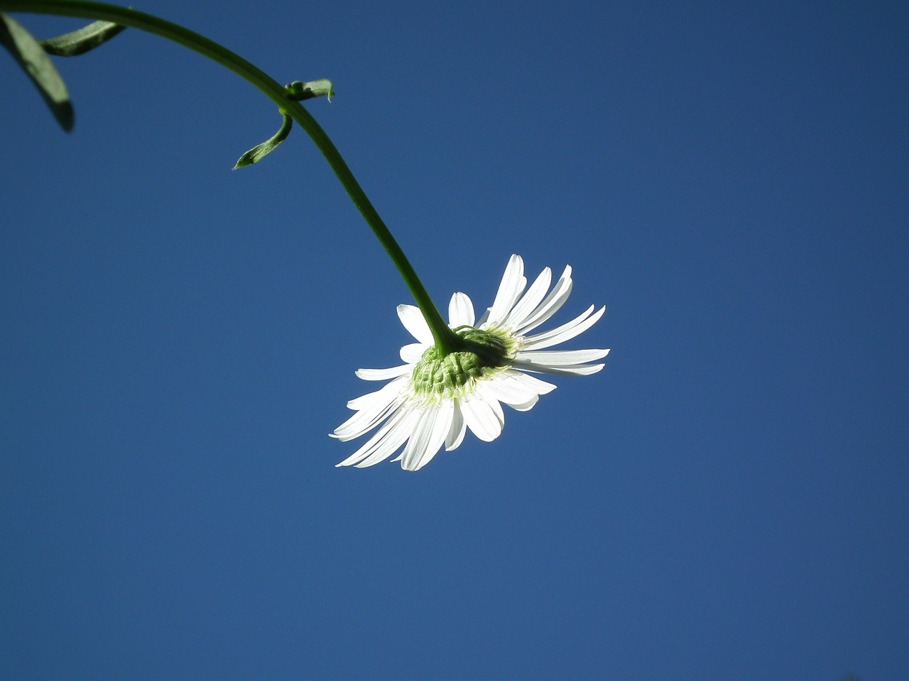 flower daisy white free photo