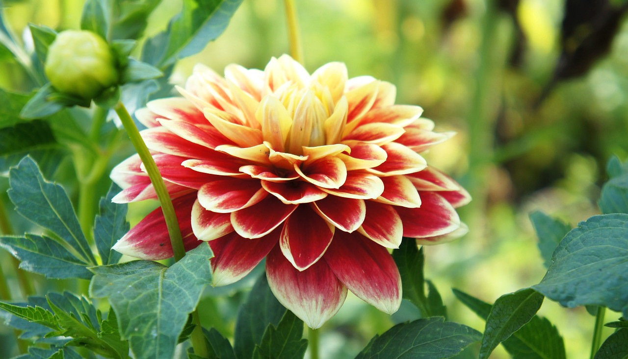 flower,dahlia,garden,nature,petal,orange,asteraceae,free pictures, free photos, free images, royalty free, free illustrations, public domain