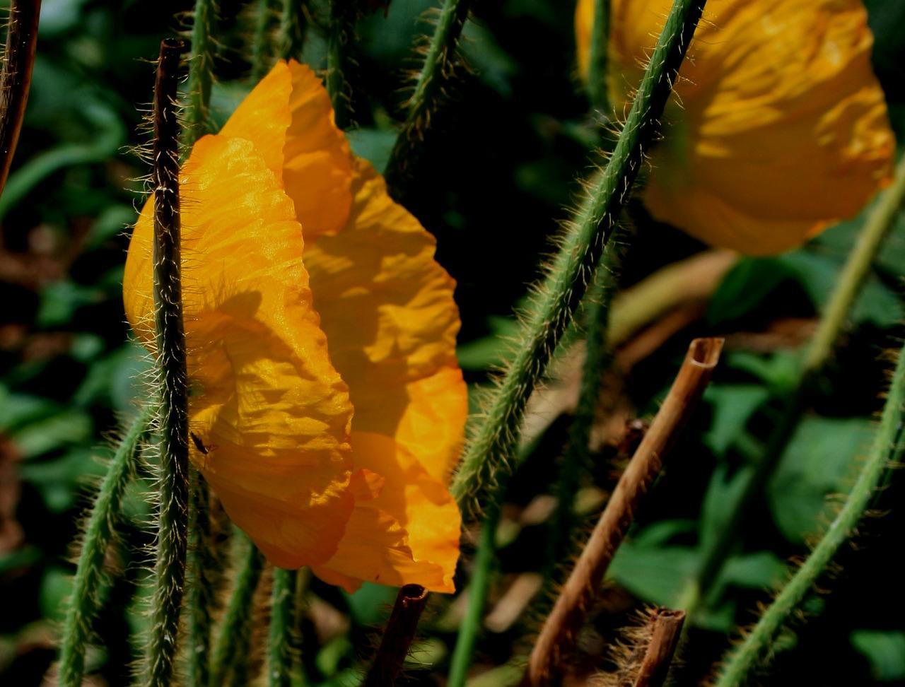 Flowerpoppybloompetalspaper Like Free Photo From Needpix