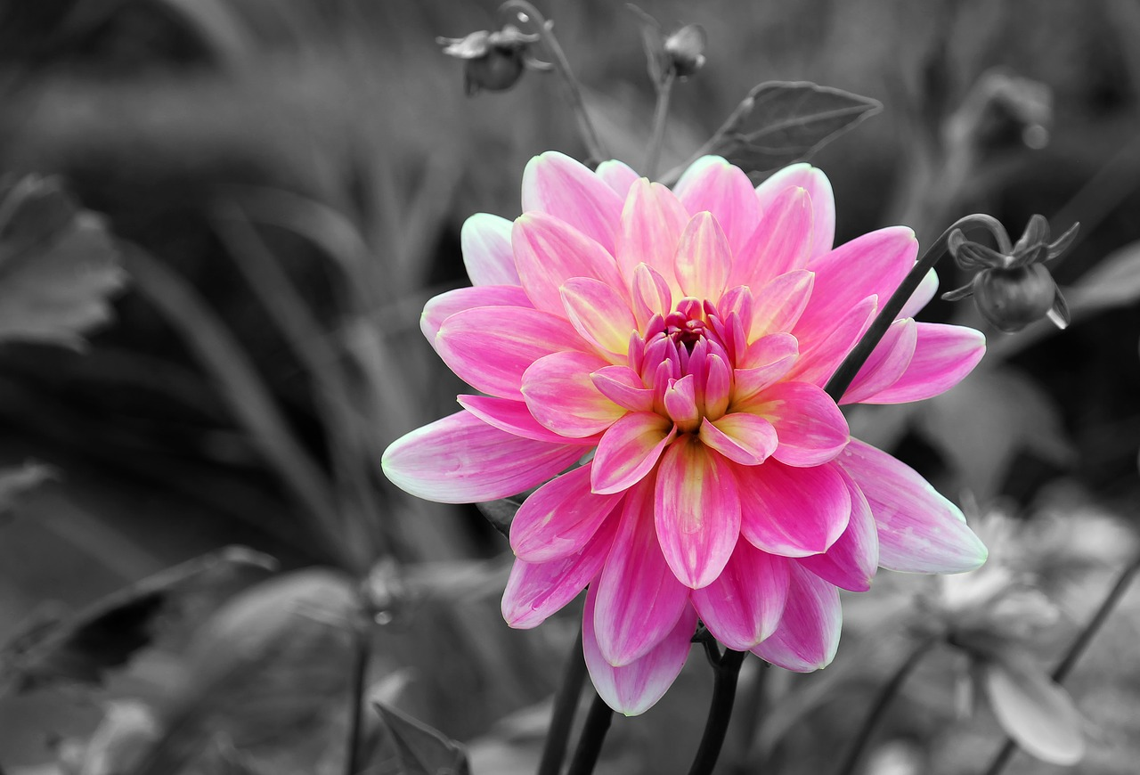 flower dahlias dahlia garden free photo
