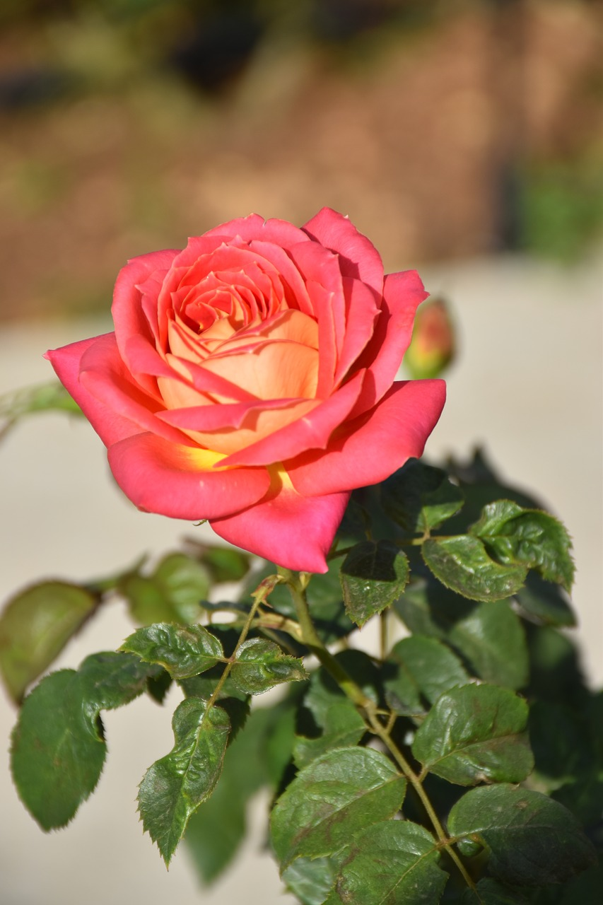 flower rose garden free photo