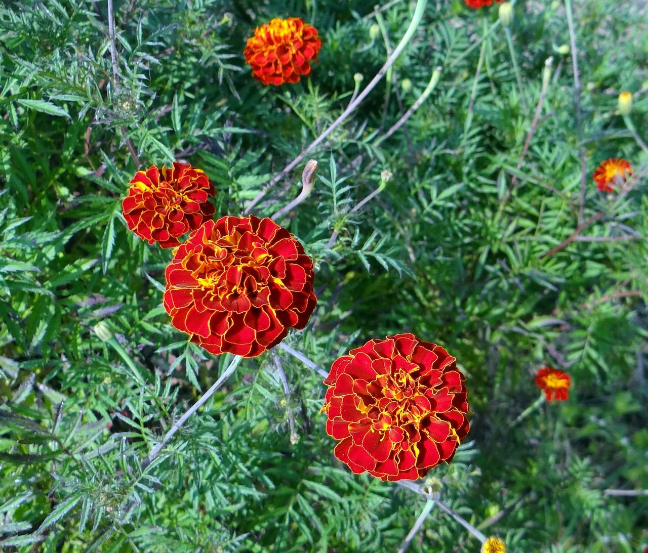 flower french marigold kalghatgi free photo
