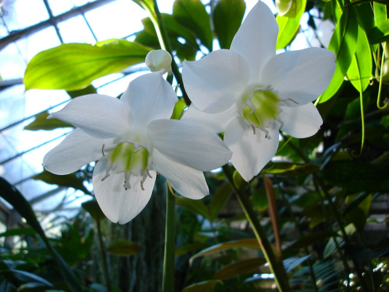flower white flower orchids free photo