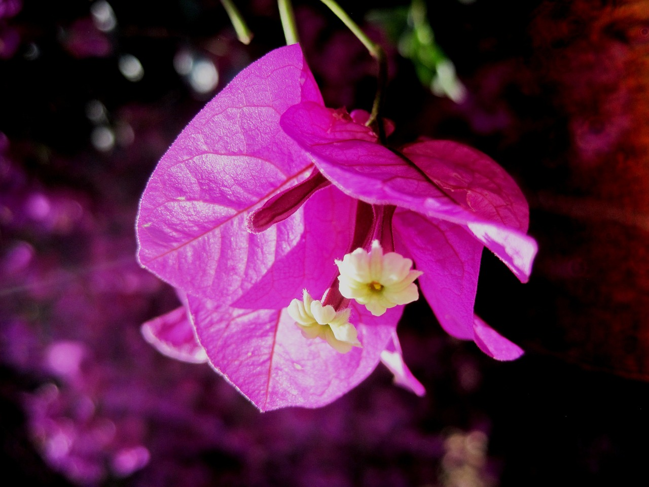 Flowerbloompinkbrightpetals Free Photo From Needpix
