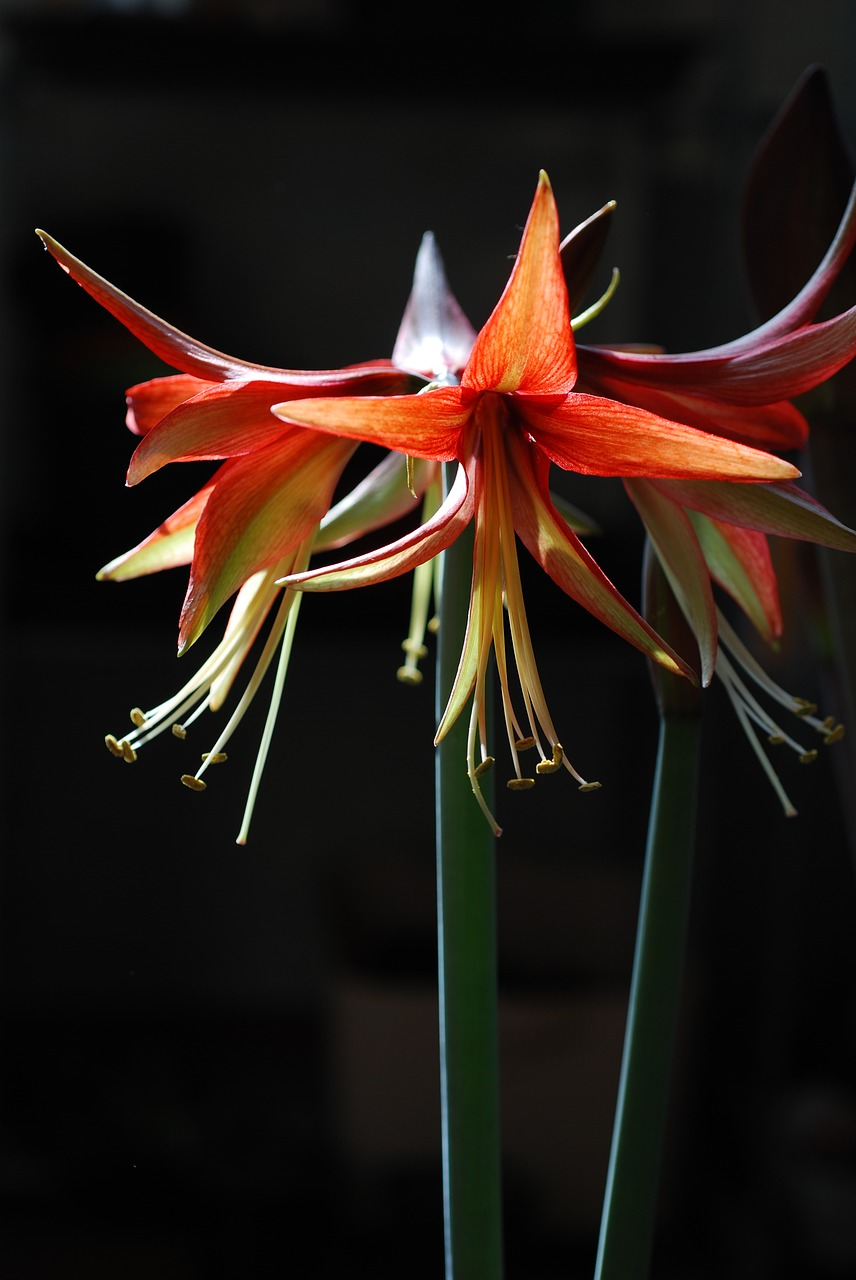 flower plant hippeastrum free photo
