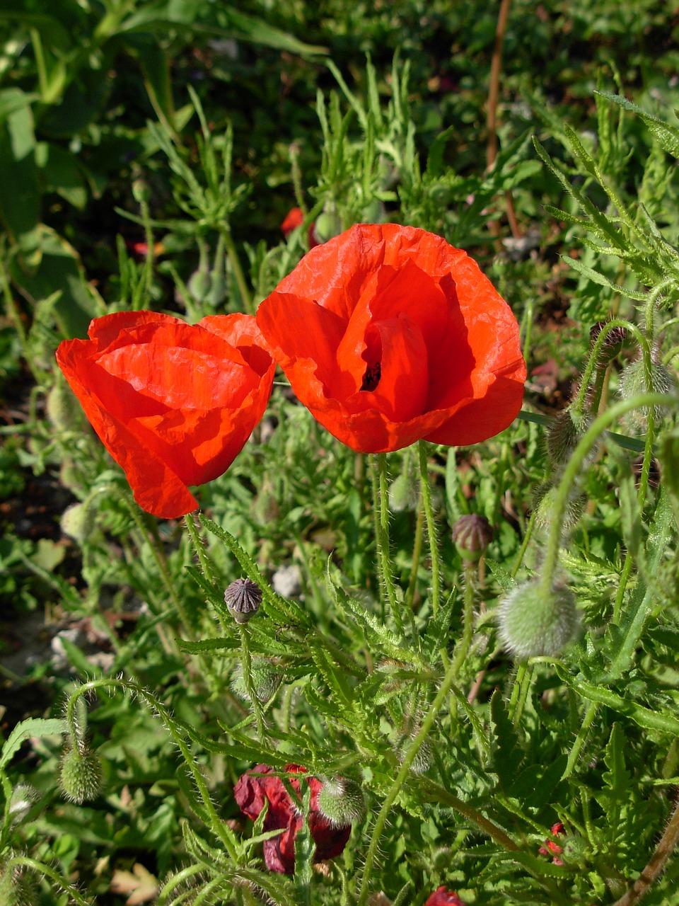 Flowerworld War 1summerpoppy Free Photo From Needpix
