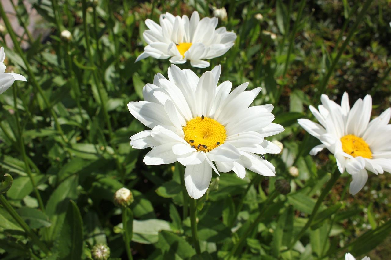 Flowerdaisieswhiteflowersmeadow margerite free photo from flower daisies white izmirmasajfo