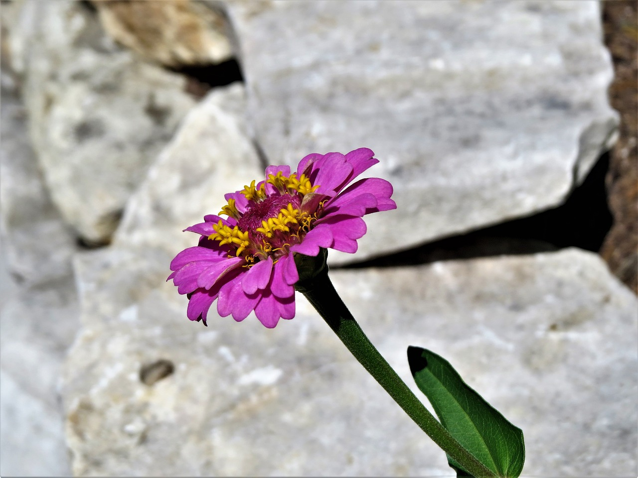 flower pink purple free picture