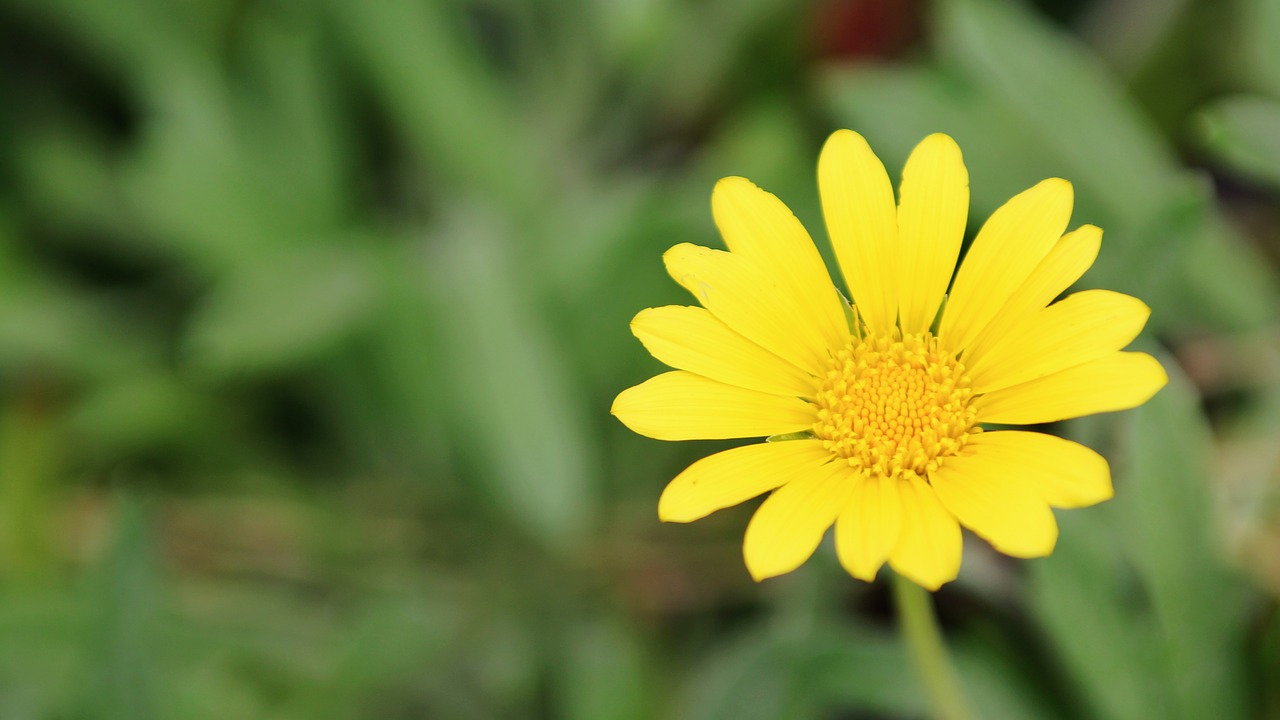 flower daisy yellow free photo