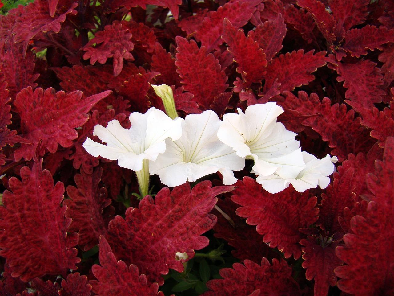 Flowerflowerswhite Flowersred Leavesfoliage Free Photo From