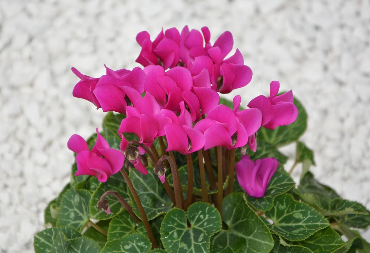 Flowercyclamen Minibright Pinknatureflowering Plant Free Photo