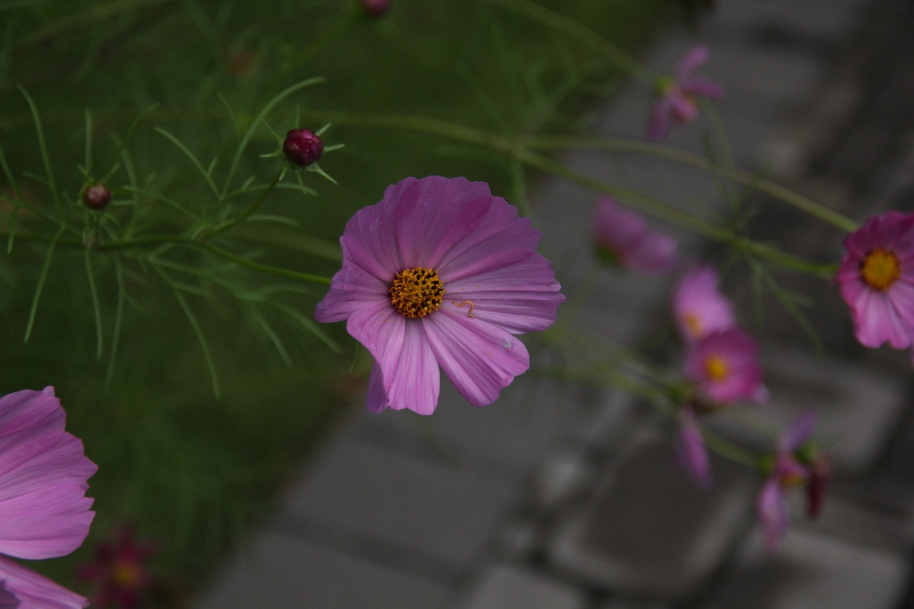 flower cosmo pink free photo