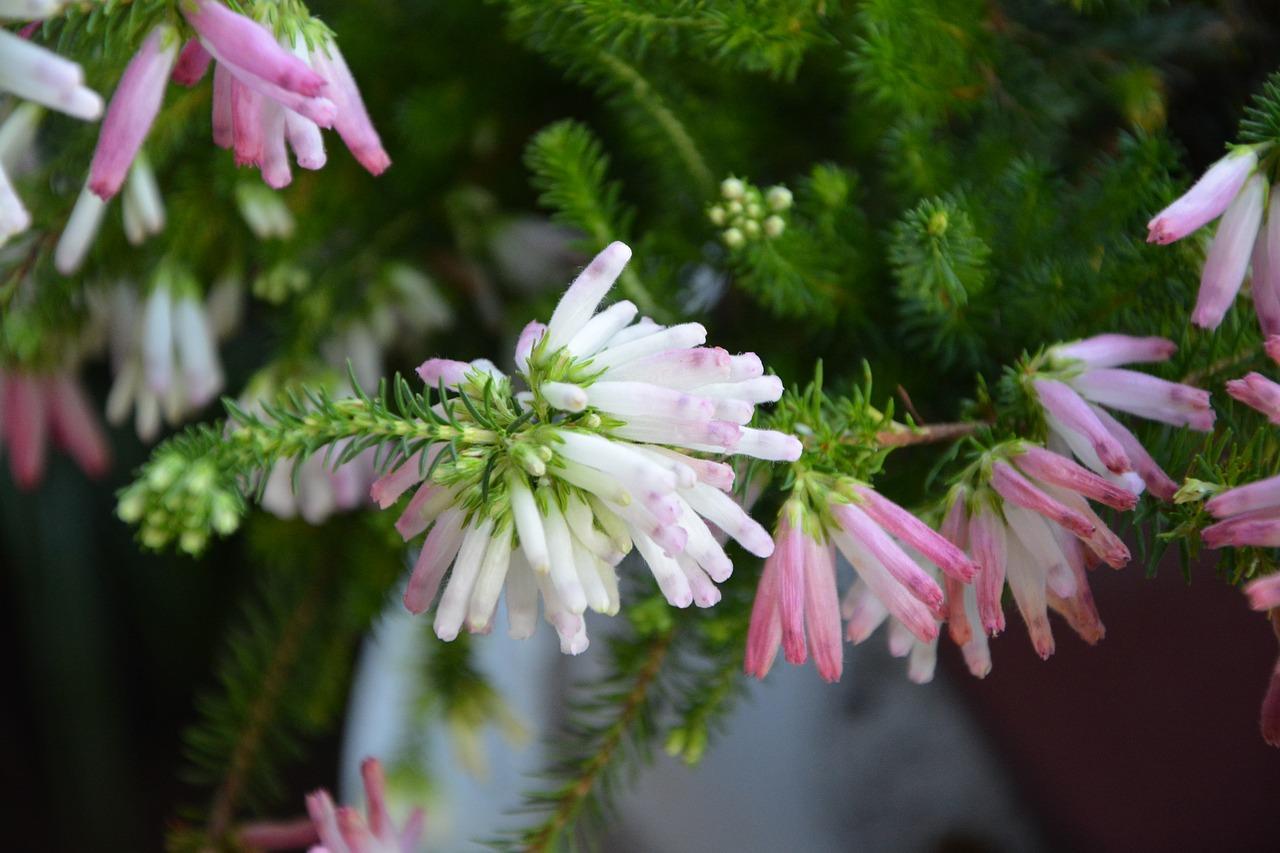 Flowerflowerswhite bells rosesgardenflowering free photo from flower flowers white bells roses mightylinksfo