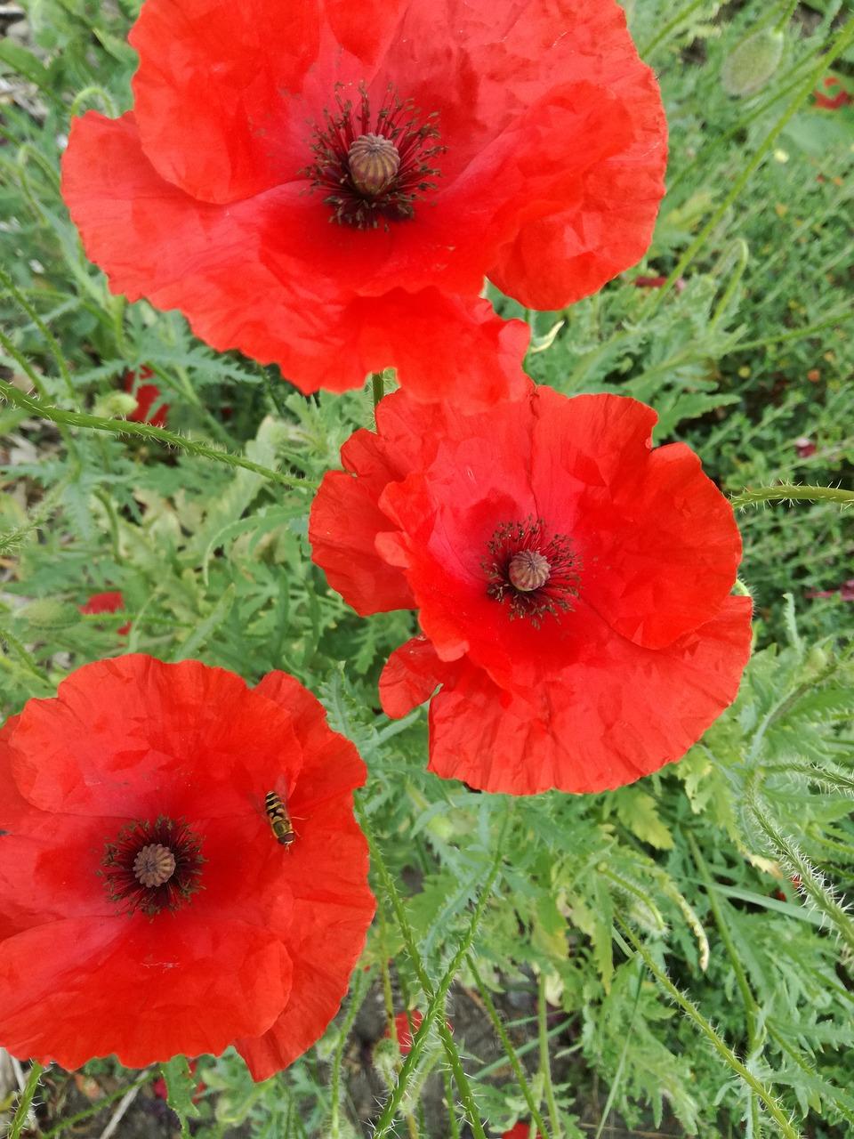 Flowerpoppypoppy Springflanders Fieldsplant Free Photo From