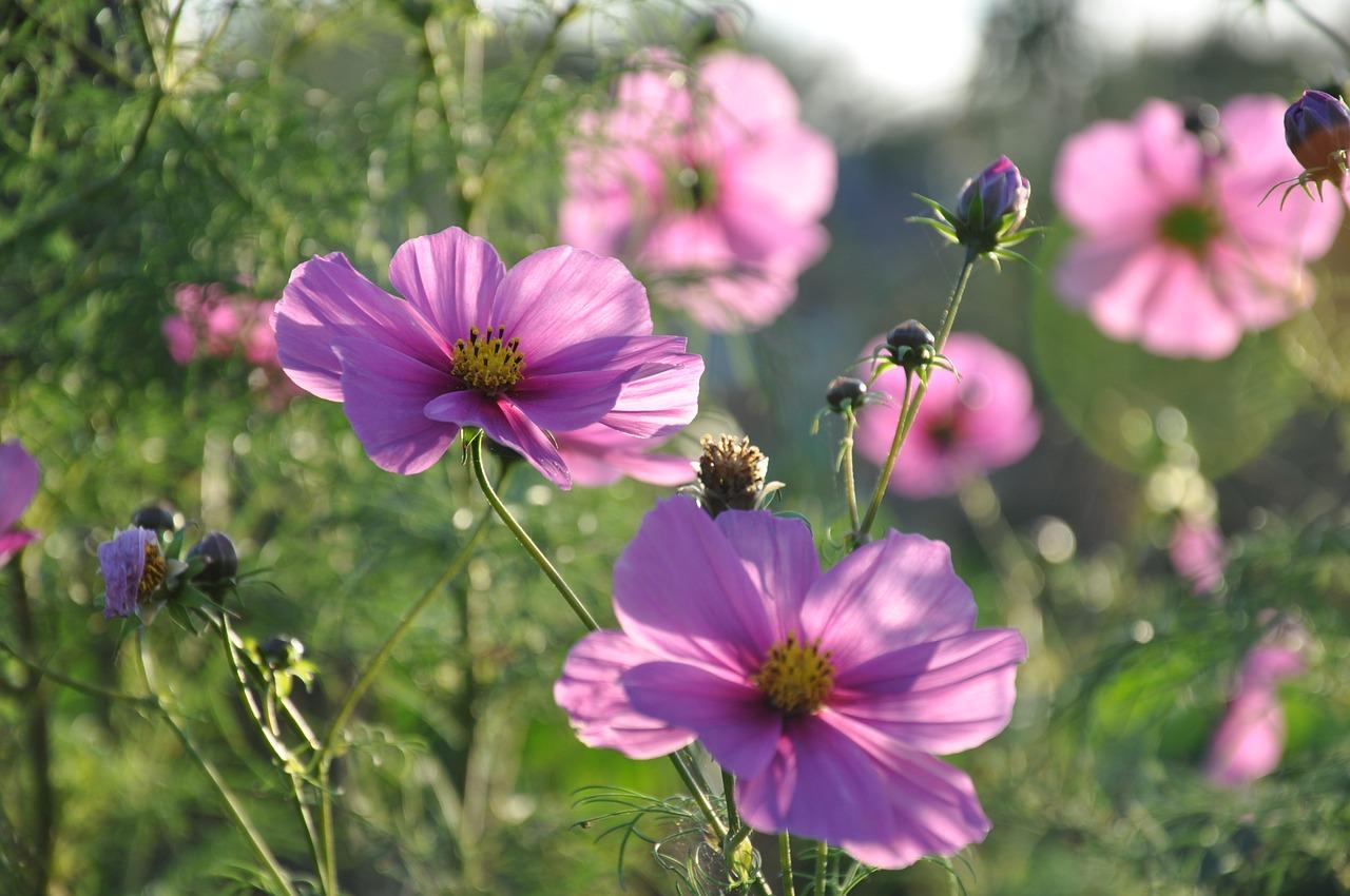 Flowercosmosnaturecosmos Pinksummer Free Photo From Needpix