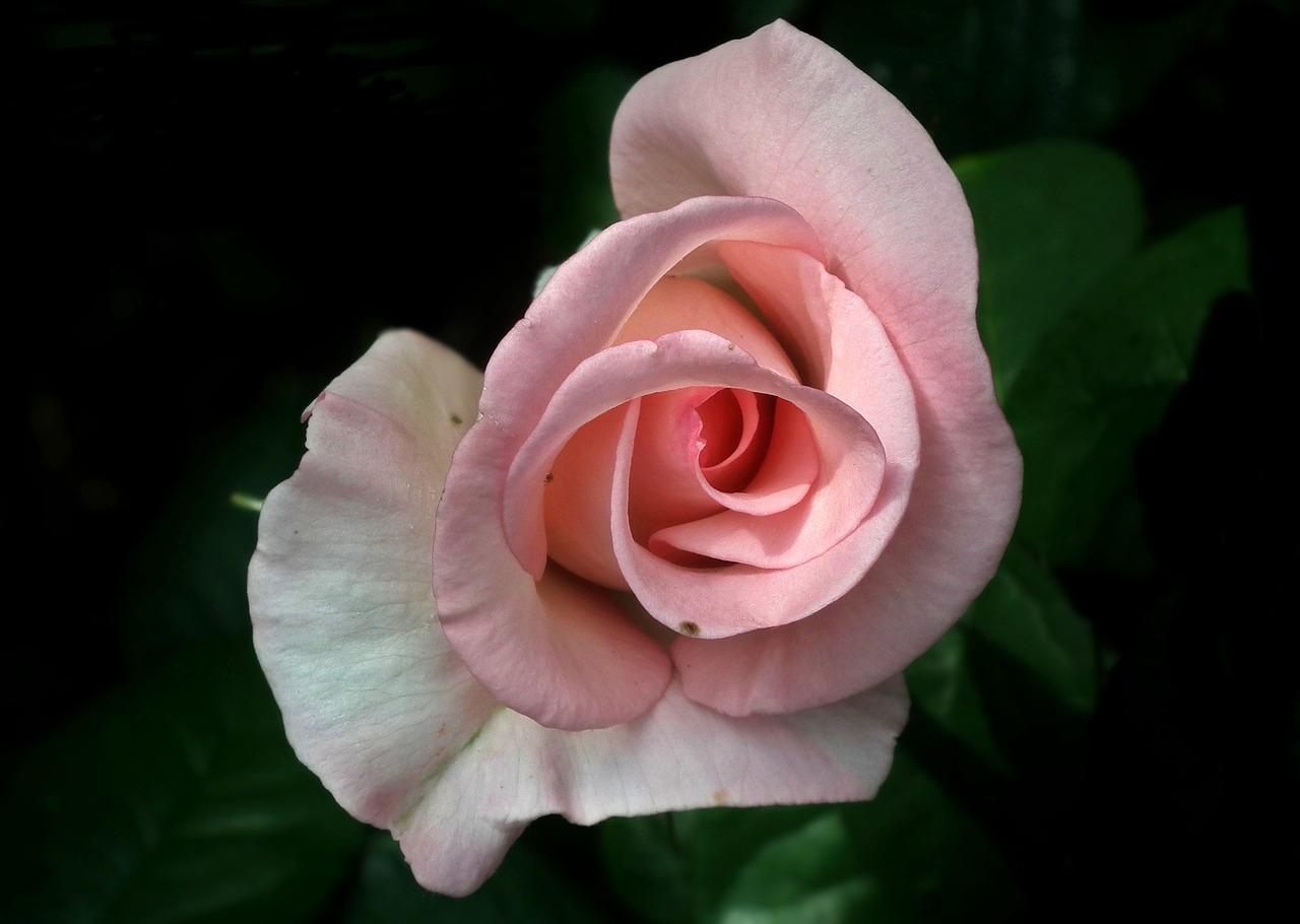 Flowerrosepinkpetalnature Free Photo From Needpix