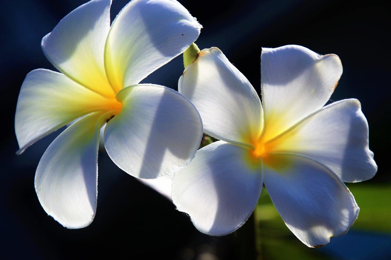Flowerplumerianaturepetalthe Tropical Free Photo From Needpix