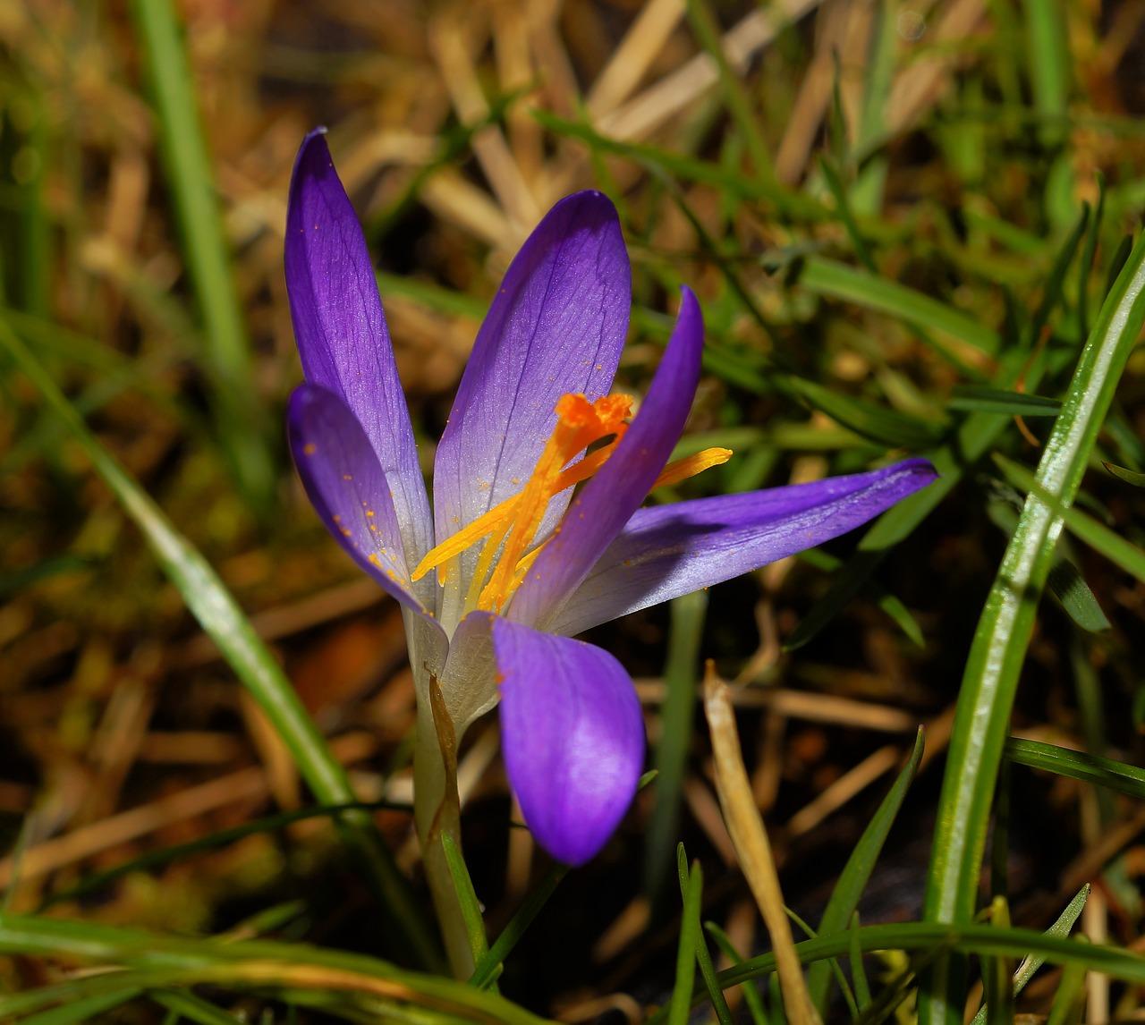 Flowerblossombloomcrocusearly Spring Free Photo From Needpix
