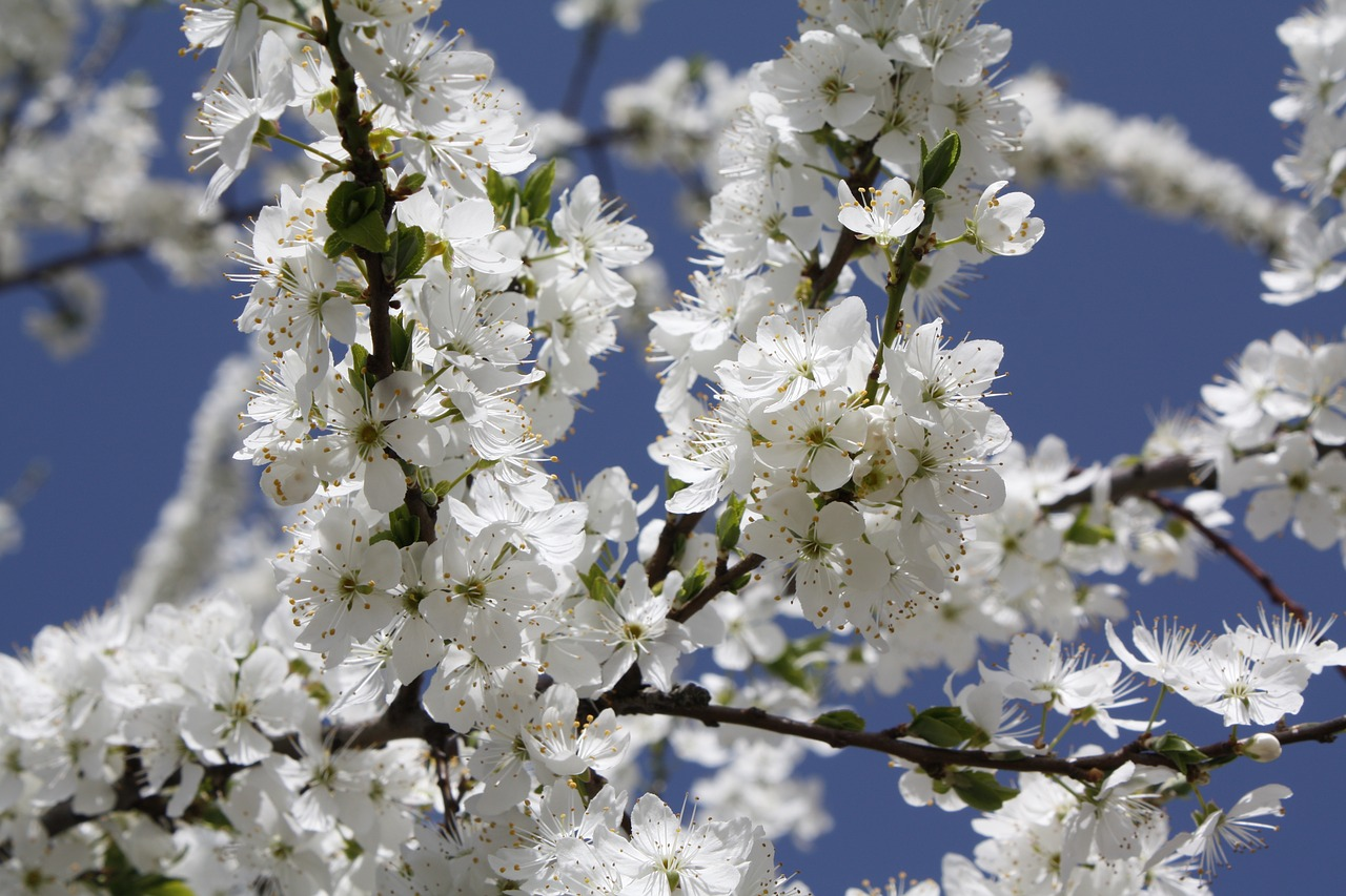 flower branch cherry wood free picture