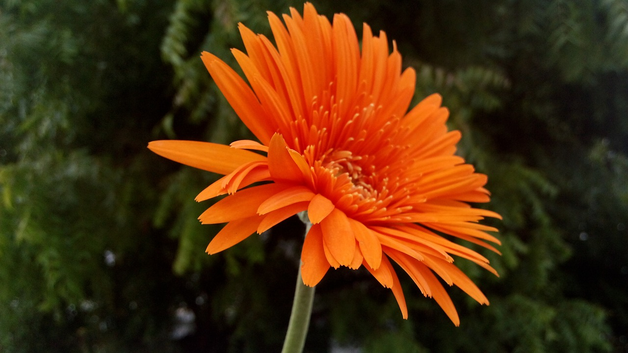 flower orange plant free photo