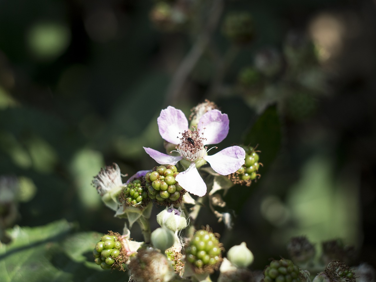 flower  blackberry  nature free photo