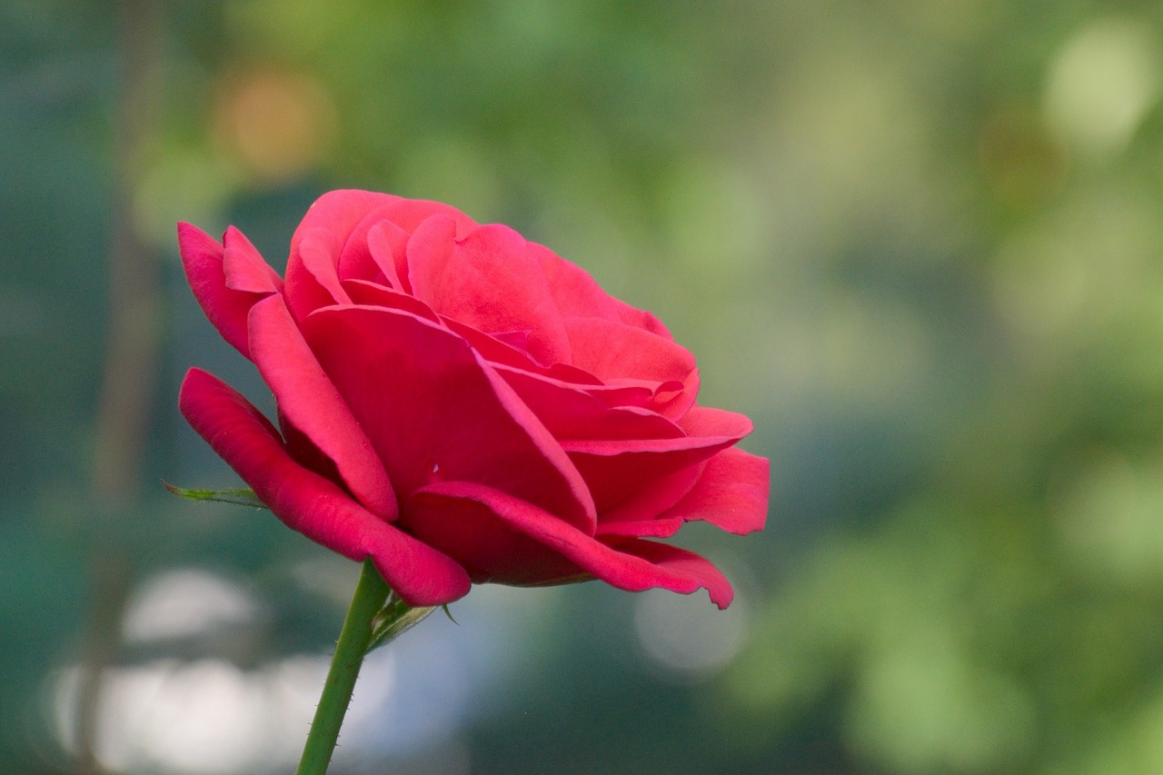 flower rose red free photo