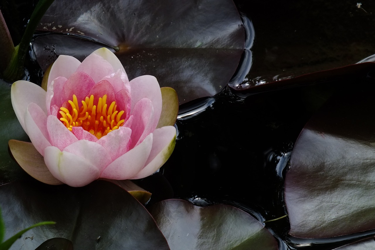 flower,pink water lily,aquatic plant,free pictures, free photos, free images, royalty free, free illustrations