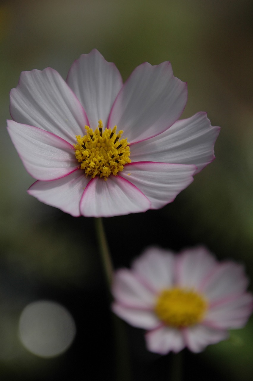 flower cosmos pink free photo