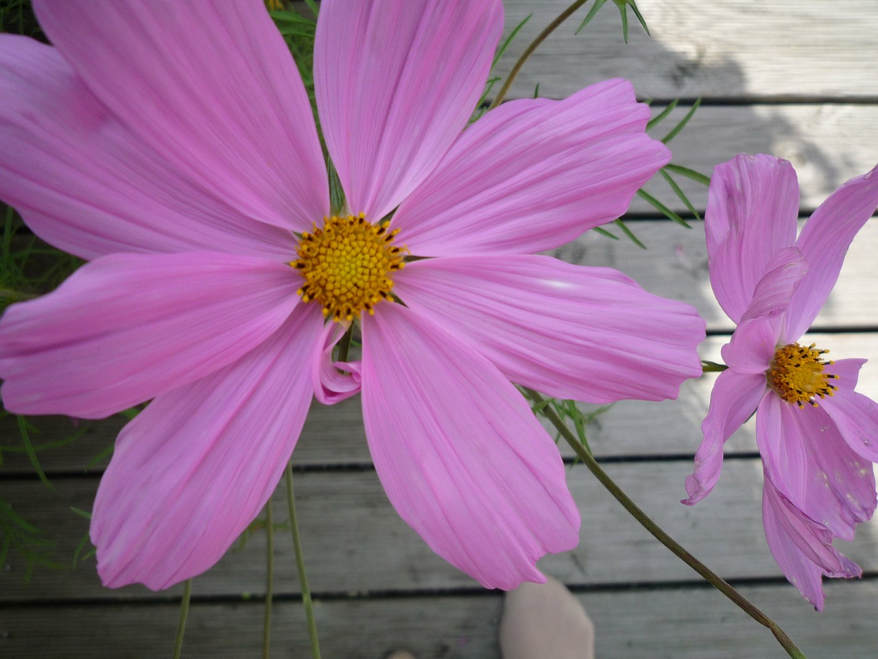 flower cosmea cosmos free photo