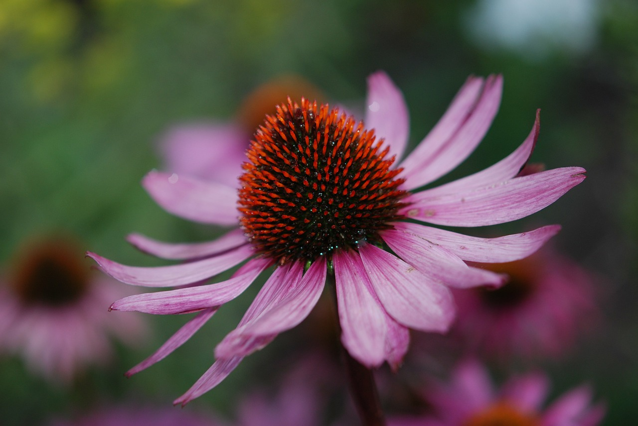 flower pink brown free photo