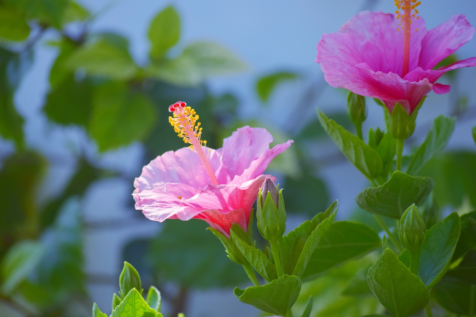 Hibiscusflowersnaturepetalsflower and foliage 40 free photo hibiscus flowers nature izmirmasajfo