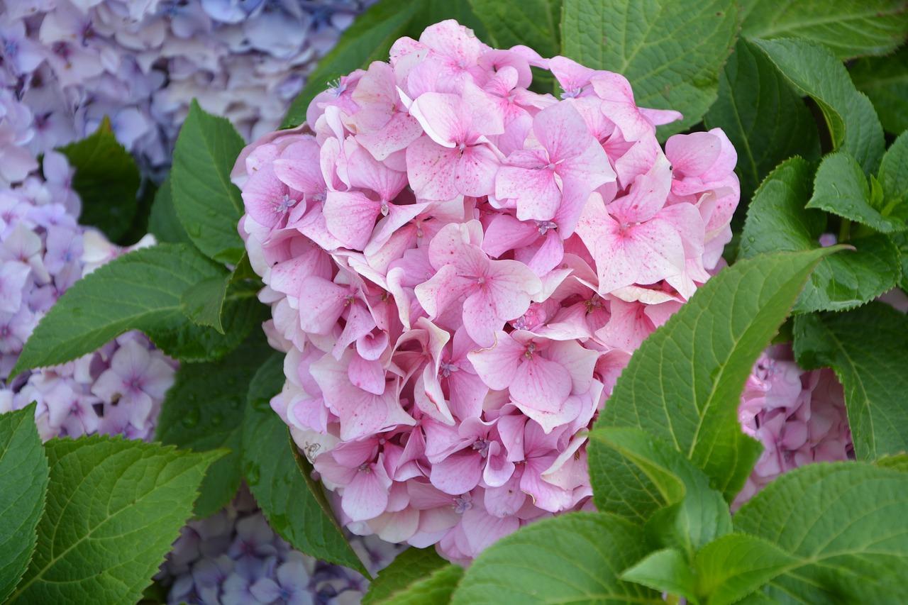 Flower Ball Pinkhydrangeapale Pinkplantpink Flower Free Photo