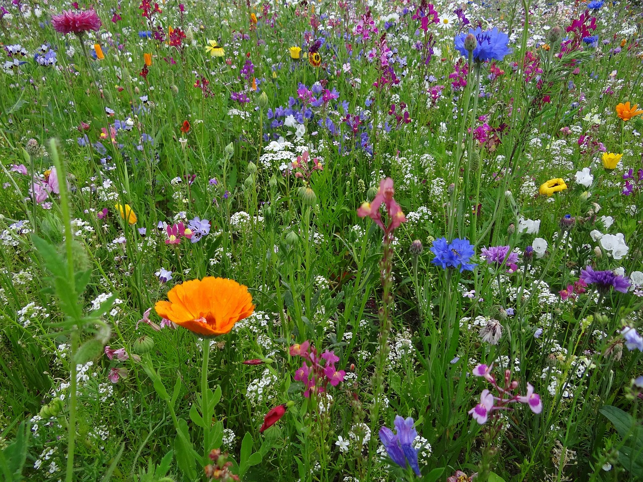 flower meadow spring meadow flowers free photo