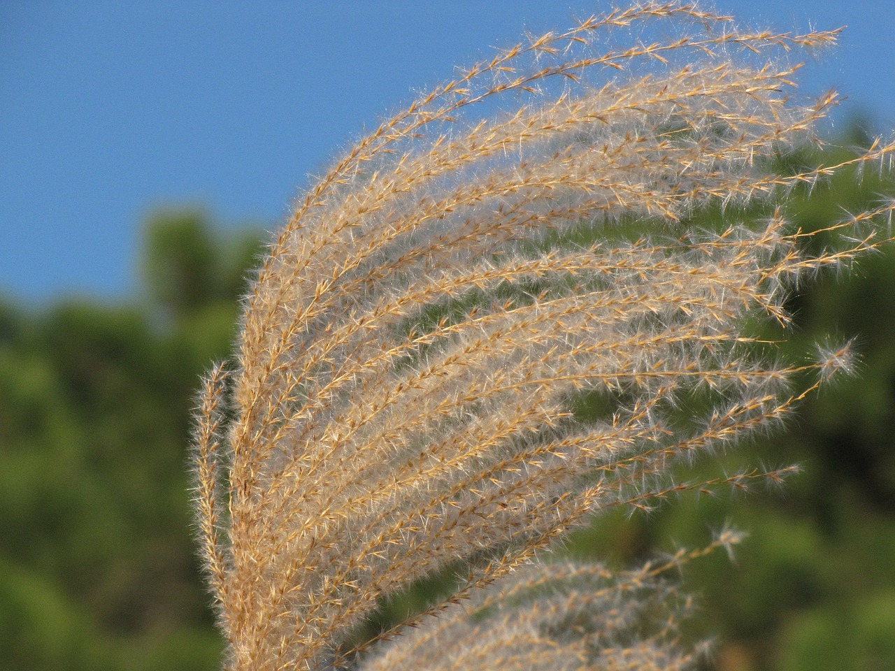 flowering miscanthus taken free photo